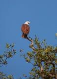 被返回的老鹰红海 免版税库存图片