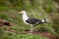 被返回的黑色极大的鸥larus玛丽恩 免版税库存图片