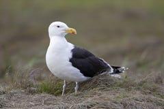 被返回的黑色极大的鸥larus玛丽恩 免版税图库摄影