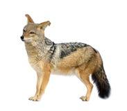 被返回的黑色犬属狐狼mesomelas 免版税库存照片