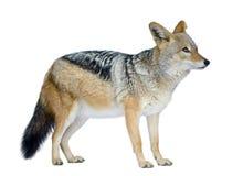 被返回的黑色犬属狐狼mesomelas 免版税图库摄影