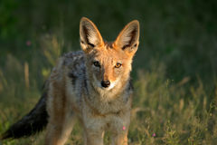 被返回的黑色狐狼 库存照片