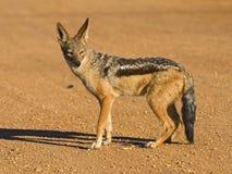 被返回的黑色狐狼 免版税库存图片
