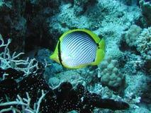 被返回的黑色butterflyfish 库存照片