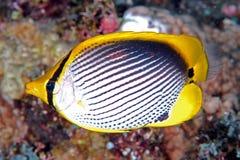 被返回的黑色butterflyfish chaetodon melannotus 库存图片
