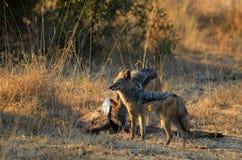 被返回的黑色犬属狐狼mesomelas 库存图片