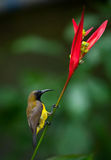 被返回的cinnyris jugularis橄榄sunbird 免版税库存照片