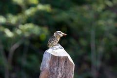 被返回的maculatus nystalus喷7科鸟地点 库存照片