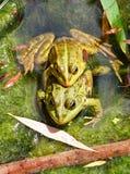 被连接的夫妇青蛙一起筑成池塘 库存图片