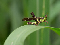 被连接的斑点猴子蚂蚱(芦苇草serratus) 免版税库存图片