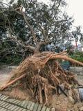 被连根拔的巨大的树 免版税库存图片