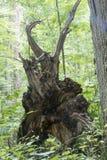 被连根拔的树在森林里 库存图片