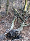 被连根拔的树 免版税图库摄影