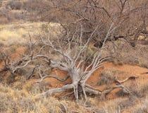 被连根拔的结构树 arizonian 美国 免版税库存图片