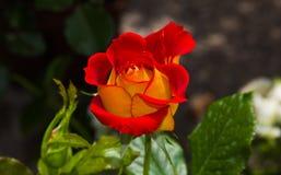 被迷惑的双色玫瑰红和黄色 库存照片