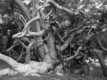 被迷惑的结构树 免版税库存图片