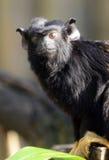被递的红色绢毛猴 库存图片