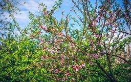 被遣散的桃红色花 图库摄影