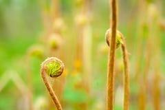 被遣散的蕨新芽的照片 库存照片