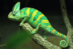 被遮掩的变色蜥蜴 库存图片