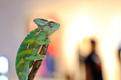 被遮掩的变色蜥蜴 免版税库存图片