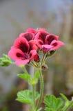 被遮蔽的桃红色大竺葵 免版税库存图片