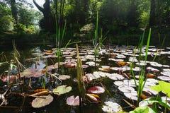 被遮蔽的森林地池塘中间夏天 库存照片