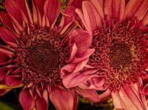 被采取的两朵桃红色花特写镜头 免版税库存图片