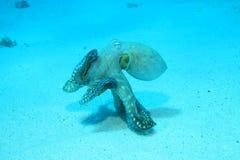 被采取的海湾章鱼红色礁石s海运鲨鱼 库存图片