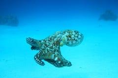 被采取的海湾章鱼红色礁石s海运鲨鱼 免版税库存图片