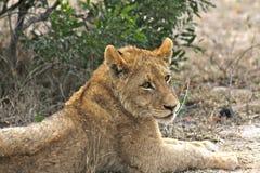 被采取的非洲崽kruger狮子国家公园照片休息的南部是 库存照片