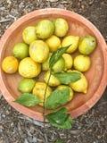 被采摘的新鲜柠檬 库存照片