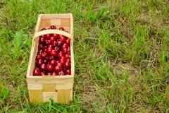 被采摘的樱桃甜樱桃 库存图片