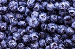 被采摘的蓝莓新鲜 免版税库存照片