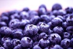 被采摘的蓝莓新鲜 免版税图库摄影