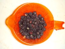被采摘的黑莓 免版税库存照片