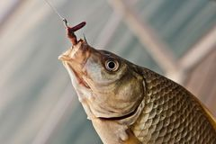 被钩的鲤鱼crucian 图库摄影