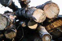 被锯的日志在森林木雄鹿吃了 背景 图库摄影