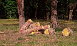 被锯的杉木日志堆  库存图片