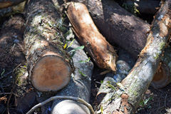 被锯的树在木材生产的森林里 库存照片