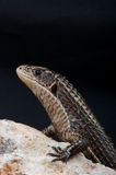 被镀的蜥蜴 免版税图库摄影