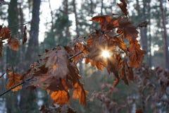 被镀青铜的叶子在冬天 免版税图库摄影