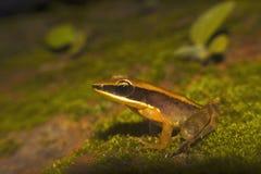 被镀青铜的青蛙, Hylarana temporalis Sharavathi野生生物保护区,卡纳塔克邦,印度 库存照片
