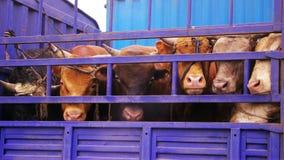 被限制的公牛 库存图片