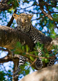 被隐藏热豹子的分行位于树荫星期日结构树 国家公园 肯尼亚 坦桑尼亚 马赛马拉 serengeti 免版税图库摄影