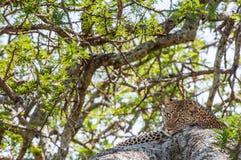 被隐藏热豹子的分行位于树荫星期日结构树 豹子从在树的太阳热的射线掩藏 豹子(豹属pardus) 库存照片