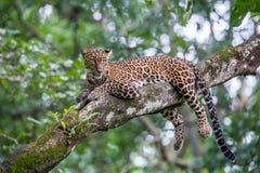被隐藏热豹子的分行位于树荫星期日结构树 库存照片