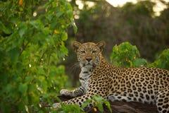 被隐藏热豹子的分行位于树荫星期日结构树 图库摄影
