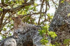 被隐藏热豹子的分行位于树荫星期日结构树 免版税库存图片