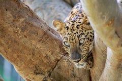 被隐藏热豹子的分行位于树荫星期日结构树 免版税库存照片